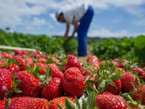 Fraisiere RouGI Strawberry Picking